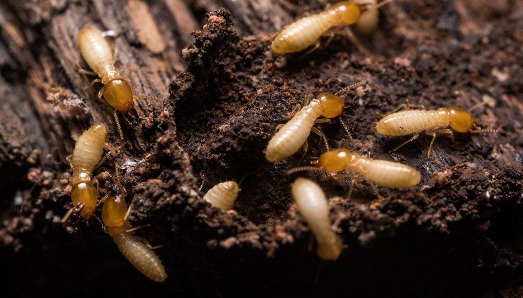 coffs-termites